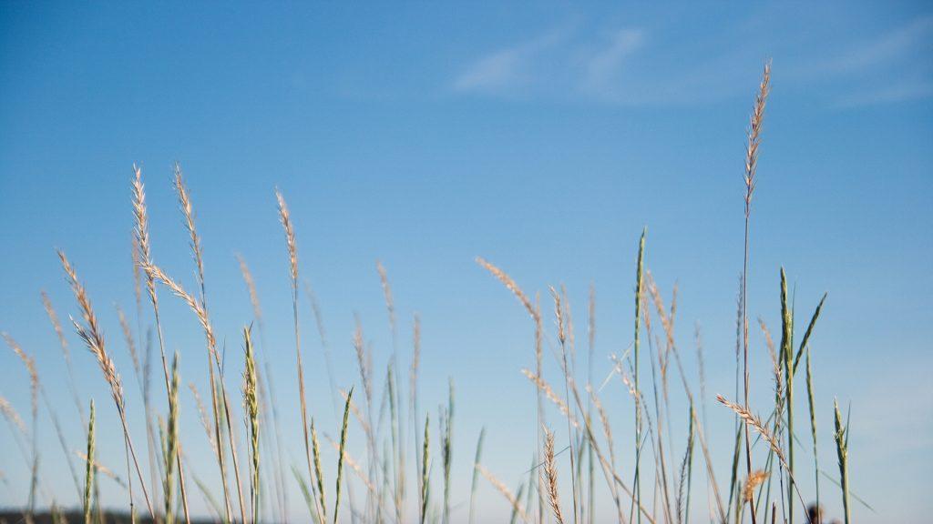 Grässtrån och blå himmel