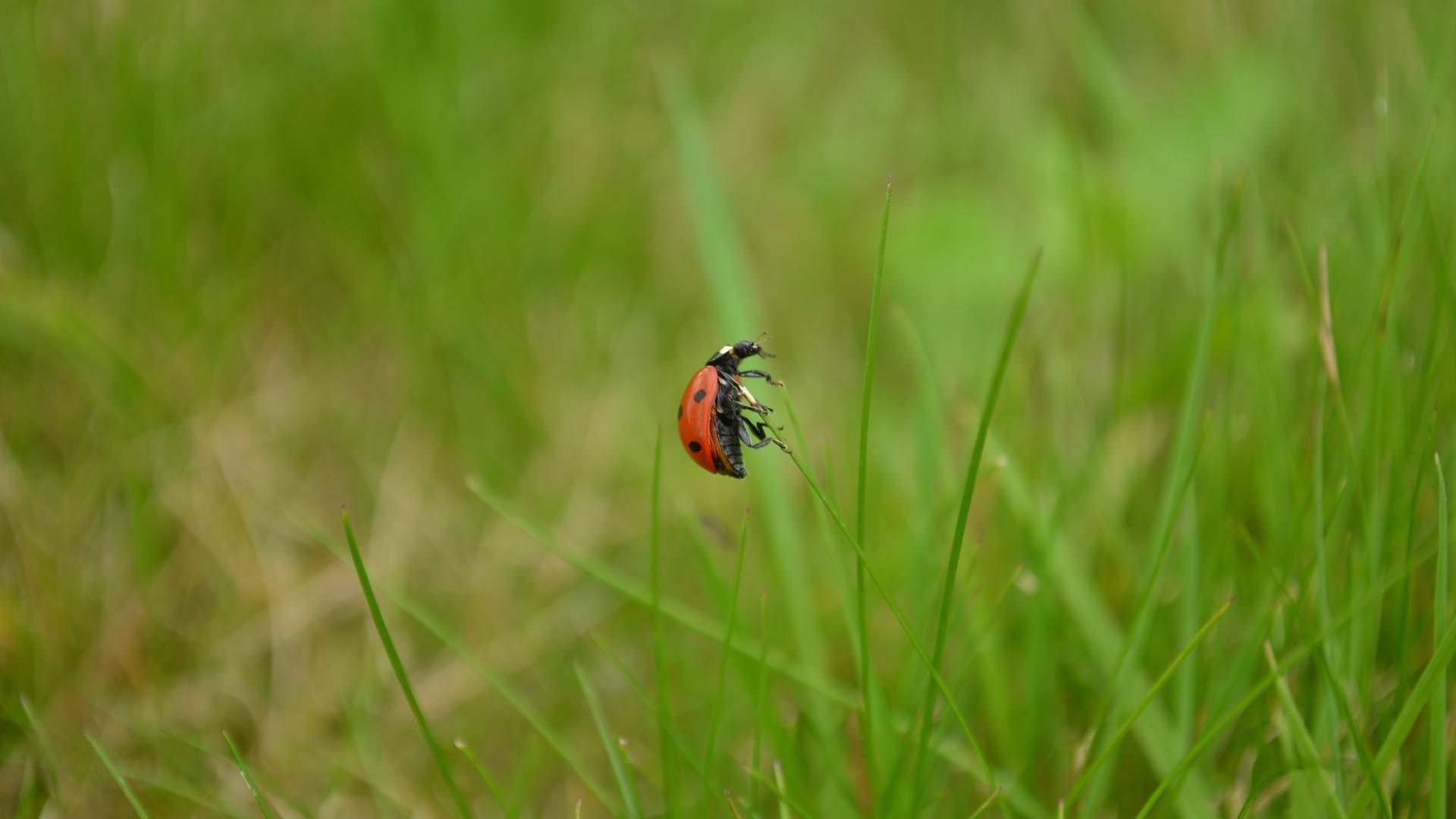 Nyckelpiga som klättrar på ett grässtrå