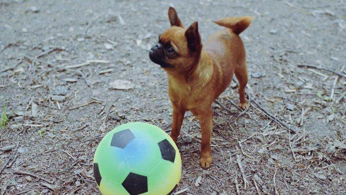 Hund leker med boll i en hundrastgård
