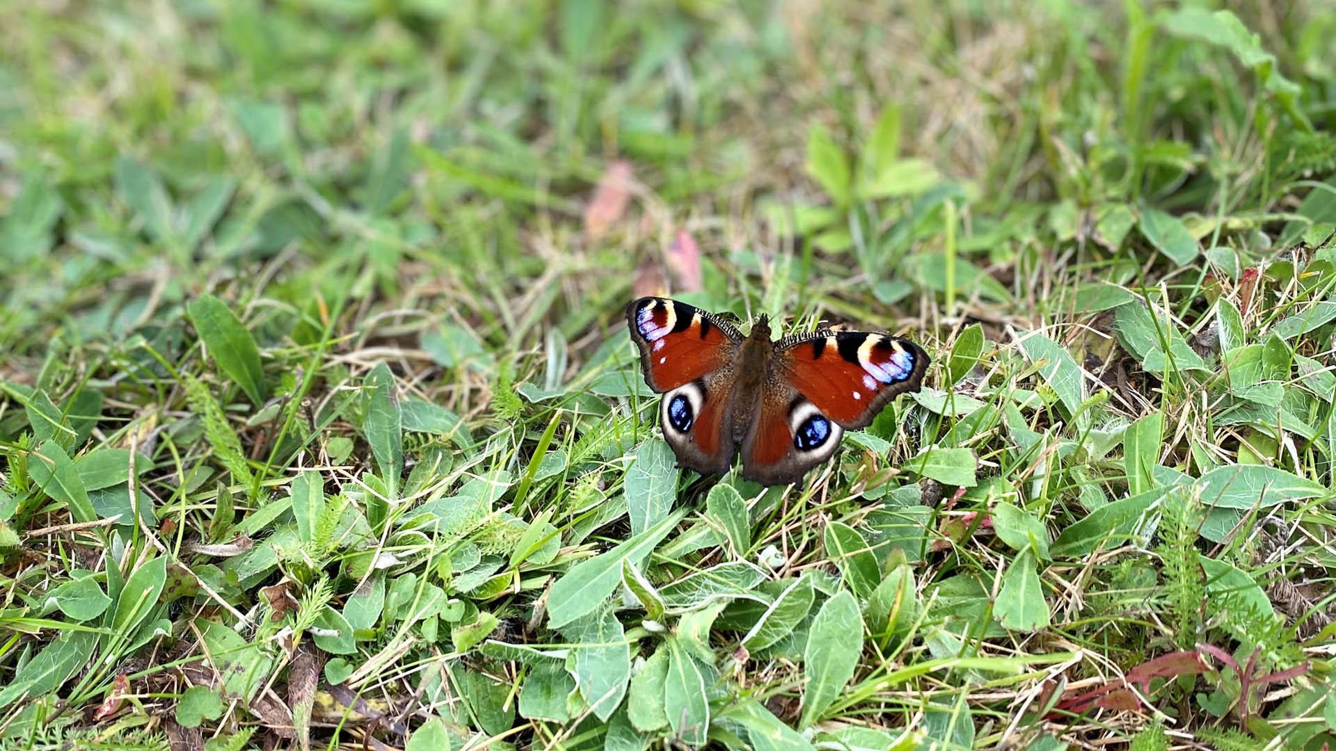 Fjäril i gräset i Grinduga naturstig.