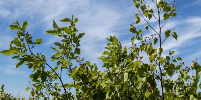 Löv på träd